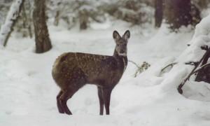 Musk-Deer_