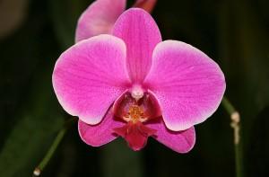 800px-Orchid_Phalaenopsis_hybrid