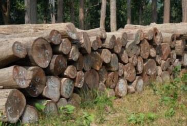 निजी जग्गाबाट ६० हजार घनफिट काठ उत्पादन
